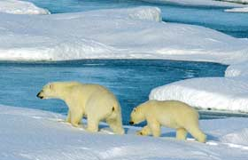 polar bears extinction