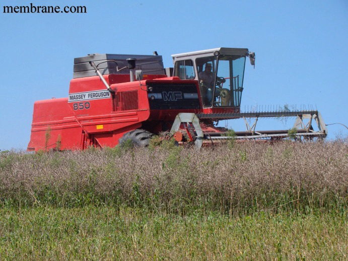Combine Harvesting Canola